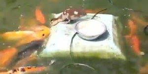 Ai gente que coisa mais linda esse patinho alimentando os peixes!