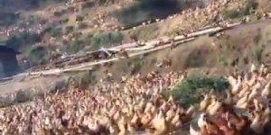 Apito faz as galinhas de um sítio inteiro se reunirem para a refeição!