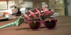 Camaleão muda de cor conforme o óculos escuro que coloca perto dele!