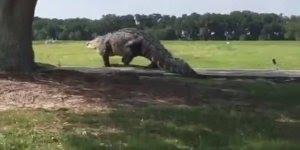 Jacaré-americano impressiona pessoas em campo de Golf na Flórida!