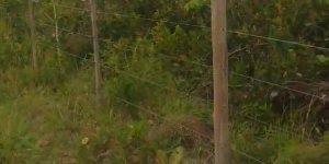 Urutau ou mãe-da-lua - Pássaro de hábitos noturnos que tem um disfarce incrível!