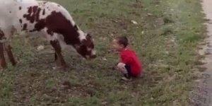 Criança é atacada por vaca, mas não do jeito que você está pensando!