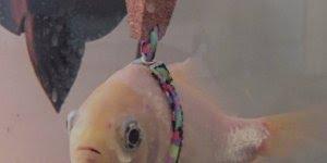 Homem cria colete salva-vidas para peixe, que ideia genial!