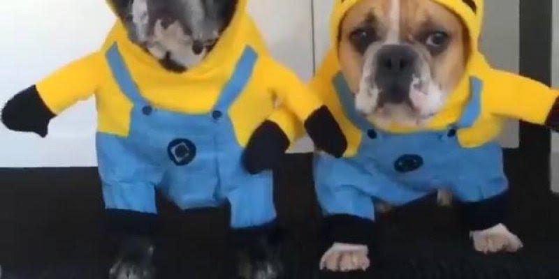 Que legal este vídeo! Da só uma olhada nestas fantasias de Minion para cachorro!