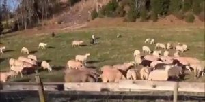 Veja só o que acontece quando as ovelhas são chamadas sem ser pelo seu pastor!!!