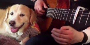 Cachorro adora ouvir seu dono tocar musica no violão, confira!