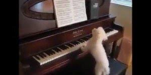Poodle tocando piano, veja que categoria para aprender a tocar!
