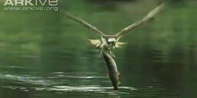 A natureza e sua cadeia alimentar, veja como esse pássaro pesca sua comida!