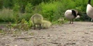 A vida dos patos, veja como eles reagem no dia a dia neste video!