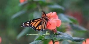 Borboletas sugando néctar das flores, como a natureza é perfeita!!!