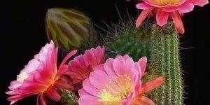 Flores de cactos se abrindo em câmera rápida, veja como são maravilhosas!!!