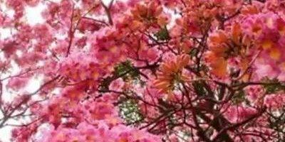 Fotos de lindos Ipês, uma árvore que deveria ser plantada em todo lugar!!!