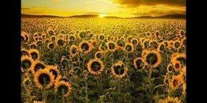 Girassóis - As flores que fazem um baile todos os dias para seguir o sol!