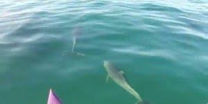 Golfinho nadando próximo de um caiaque, olha só que imagem espetacular!!!