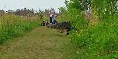 Jacaré cruzando um caminho, olha só o tamanho do animal, a natureza é fantástica