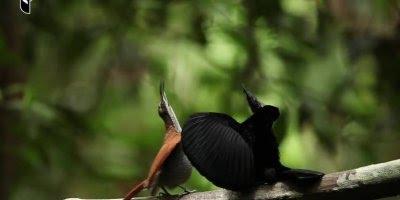 Lindo pássaro cantando, a natureza é muito majestosa, confira!