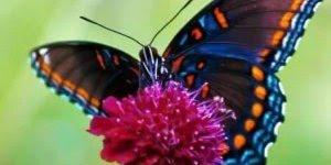 Vídeo com lindas fotos de borboletas, um inseto tão delicadinho!!!