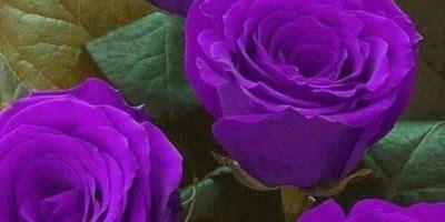 Vídeo com lindas fotos de rosas lilás e roxas, simplesmente magnifica!!!