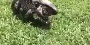 O aterrorizante grito do lagarto, simplesmente assustador, confira!!!