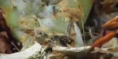 Tarantulas colocando seus ovos! Contra indicado para pessoas com aracnofobia!