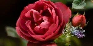 Mensagem de Boa Noite para Amiga! Que estas rosas lhe tragam um sono tranquilo!
