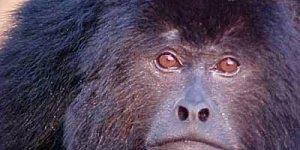 Campanha contra a matança dos macacos, a culpa da febre amarela não são deles!