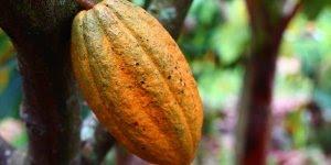 Dia 26 de Março é dia do Cacau - principal matéria-prima do chocolate!